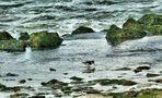 Der kleine Austernfischer  sucht Muscheln !