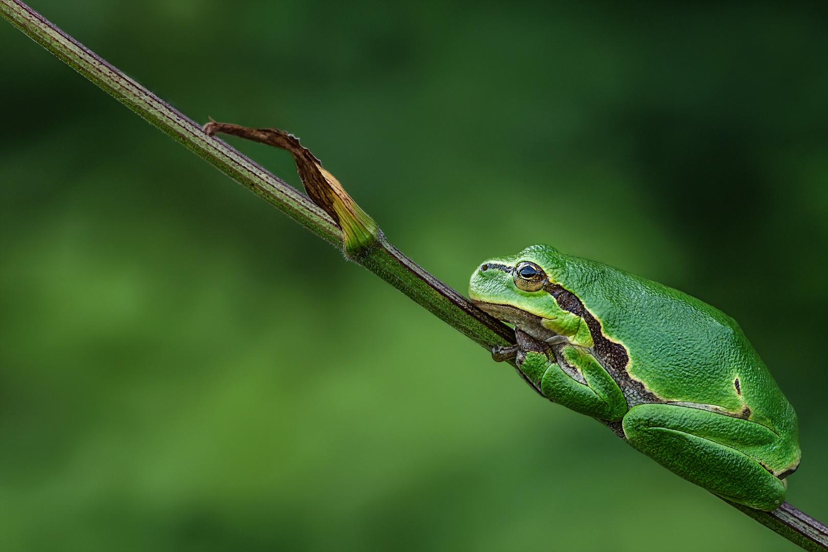 Der kleine grüne Wetterfrosch