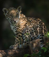Der kleine Jaguar aus Krefeld