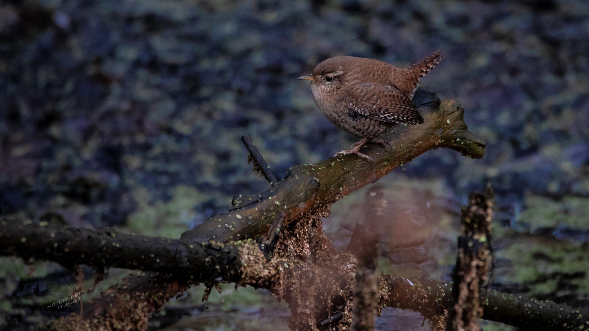 der kleine könig foto  bild  animaux animaux sauvages