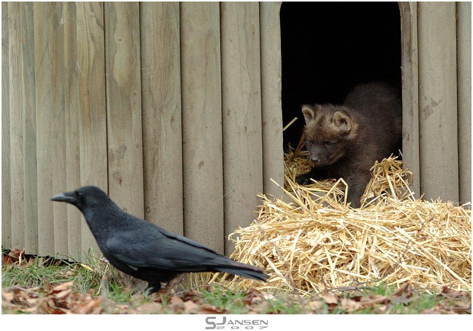 Der kleine Mähnenwolf und die Krähe (II)