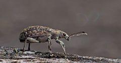 Der Kleine mit dem Rüssel: Polydrusus cervinus*! - Un minuscule extra-terrestre...
