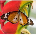 Der Kleine Monarch...