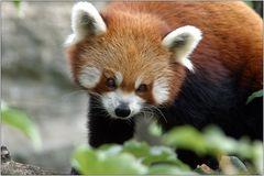 ... der Kleine Panda ...