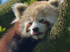 Der Kleine Panda (Ailurus fulgens)