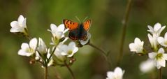 Der Kleine Papillion