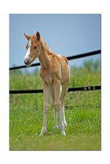 Der kleine Ponyhengst