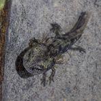 der kleine Salamander...
