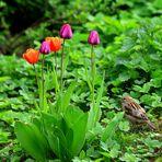 Der kleine Tulpenfreund