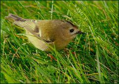 der kleinste vogel europas