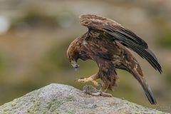 Der König der Adler / Aquila chrysaetos