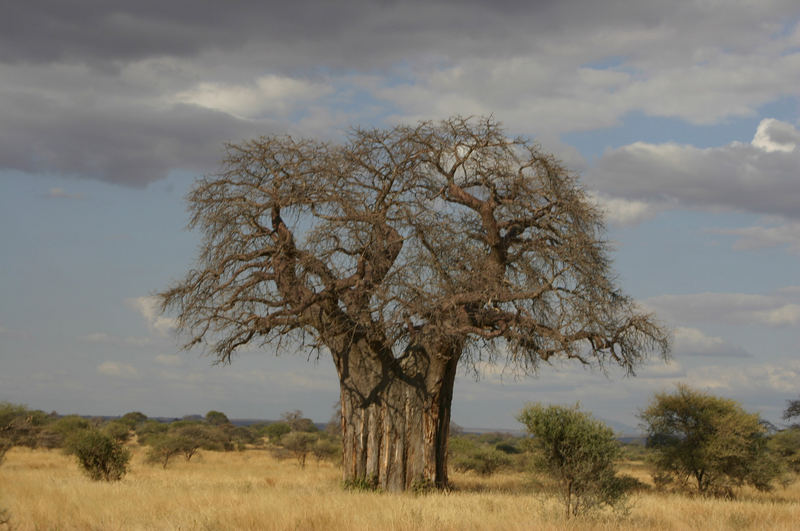Der König der Bäume...