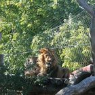 Der König der Tiere
