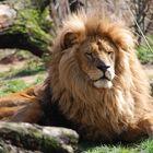 Der König der Tiere - der Löwe