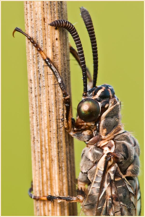 Der Kopf der Ameisenjungfer