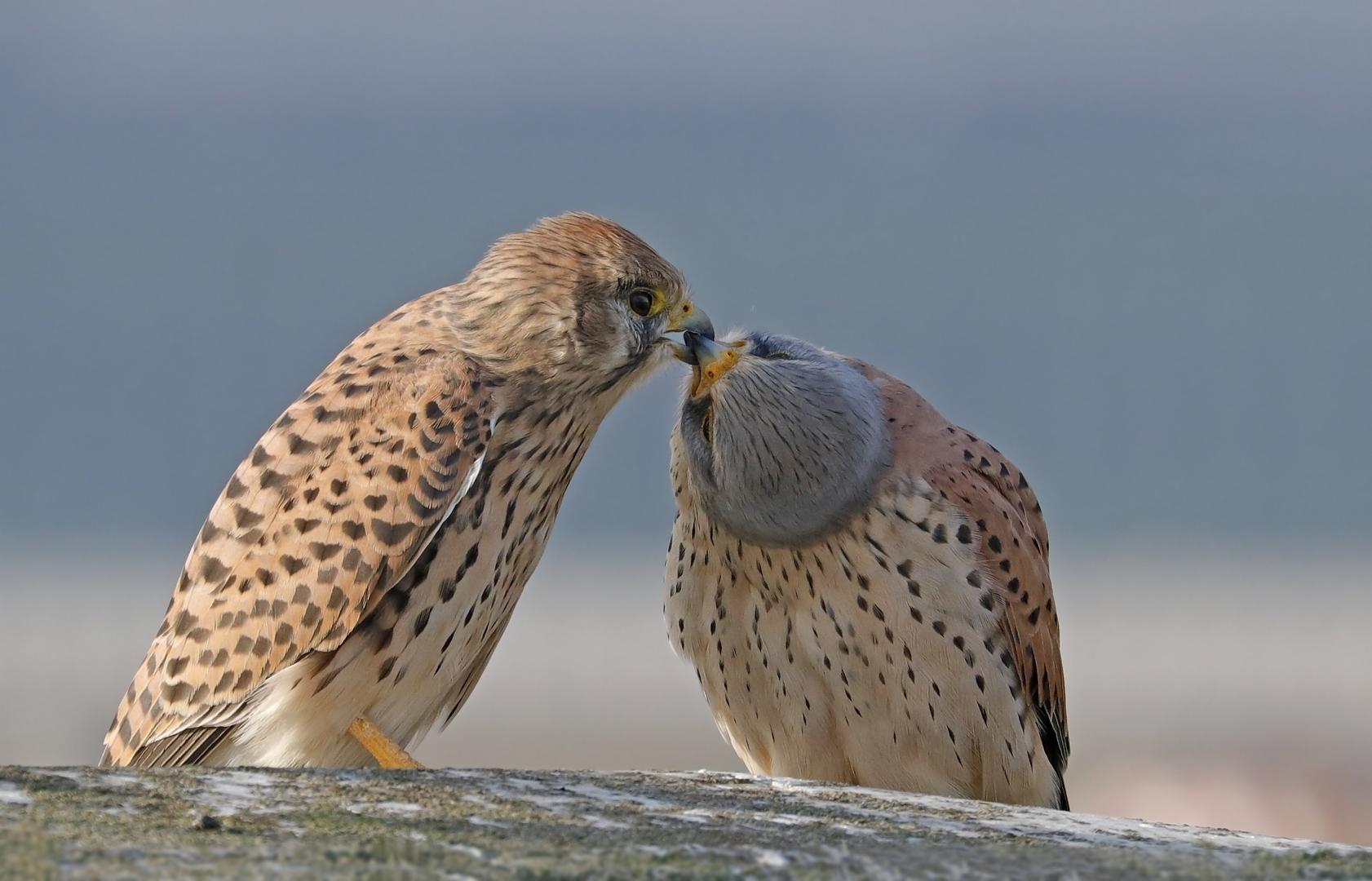 Der Kuss der Turmfalken- Falco tinnunculus- Turmfalkenpaar