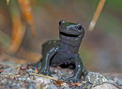Der lächelnde Alpensalamander (Salamandra atra) - Le sourire de la salamandre alpestre!