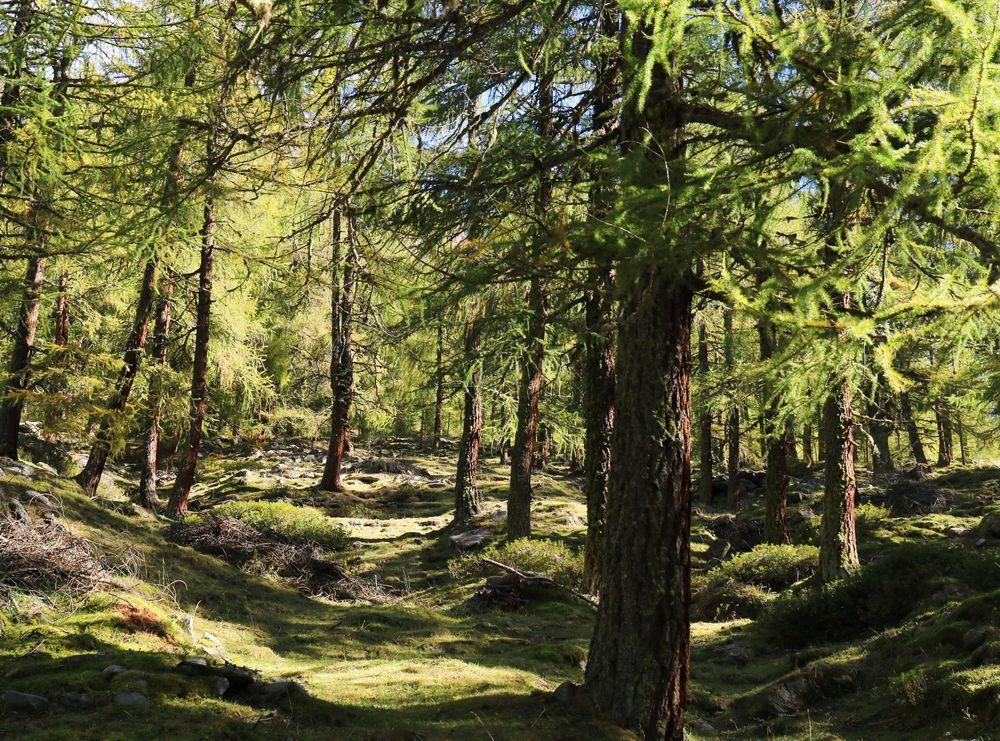 Der Lärchenwald