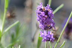 der Lavendel....