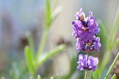 der Lavendel...