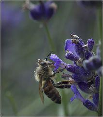 Der Lavendelschlürfer