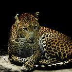Der Leopard mit dem genervten Blick...