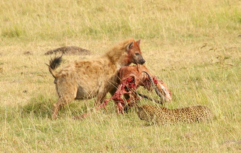 Der Leopard und die Hyäne...