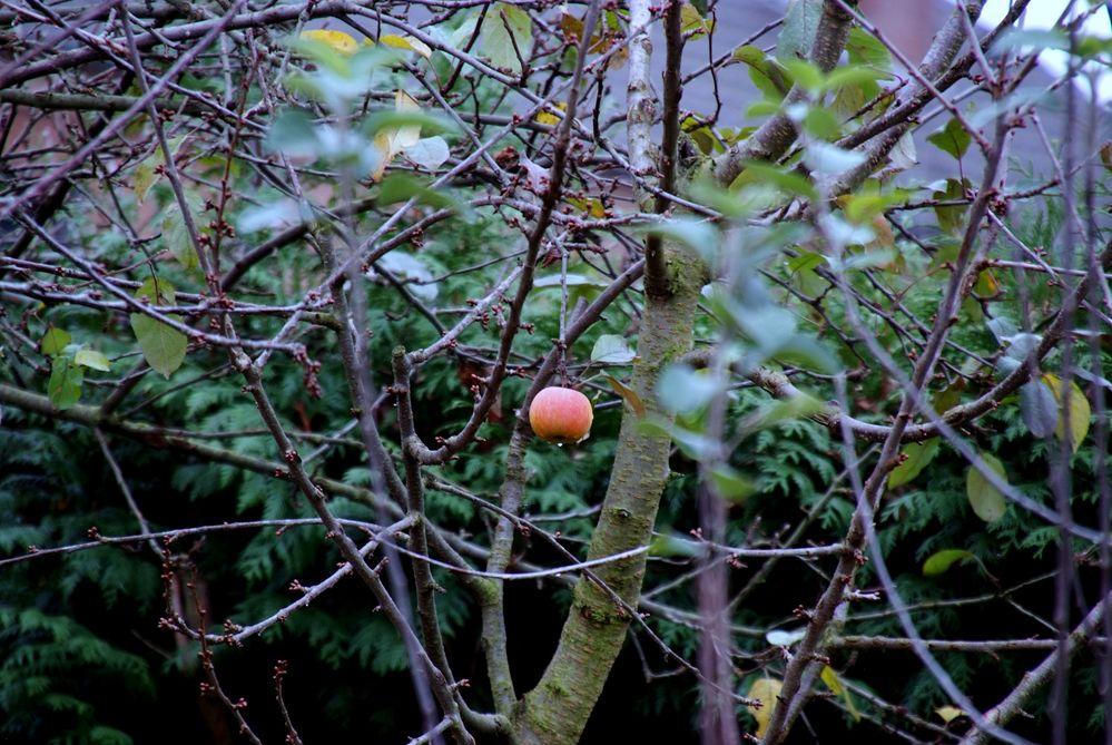 der letzte Apfel am Baum