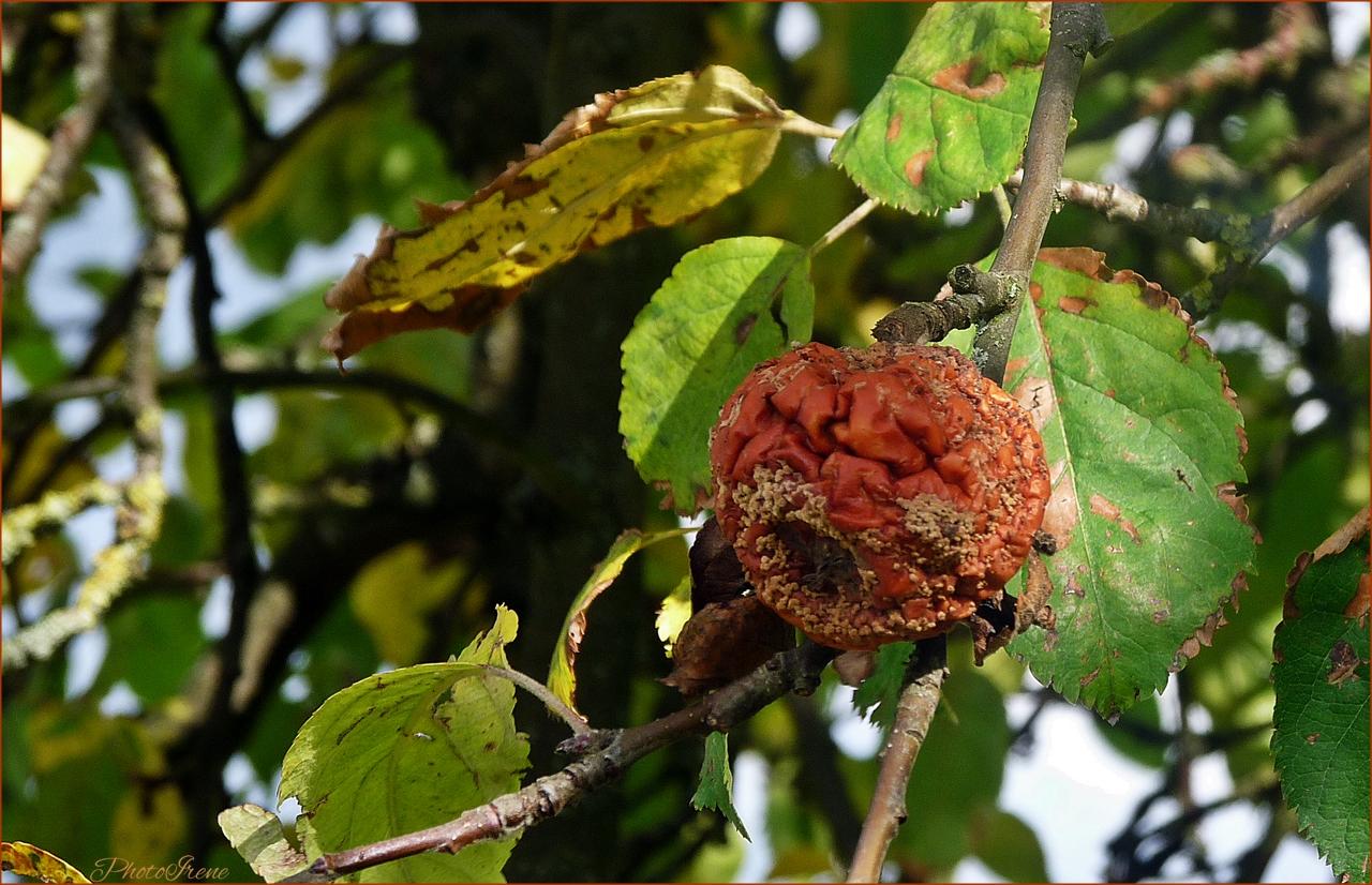 der letzte Apfel fault am Baum