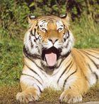 Der letzte Tiger!