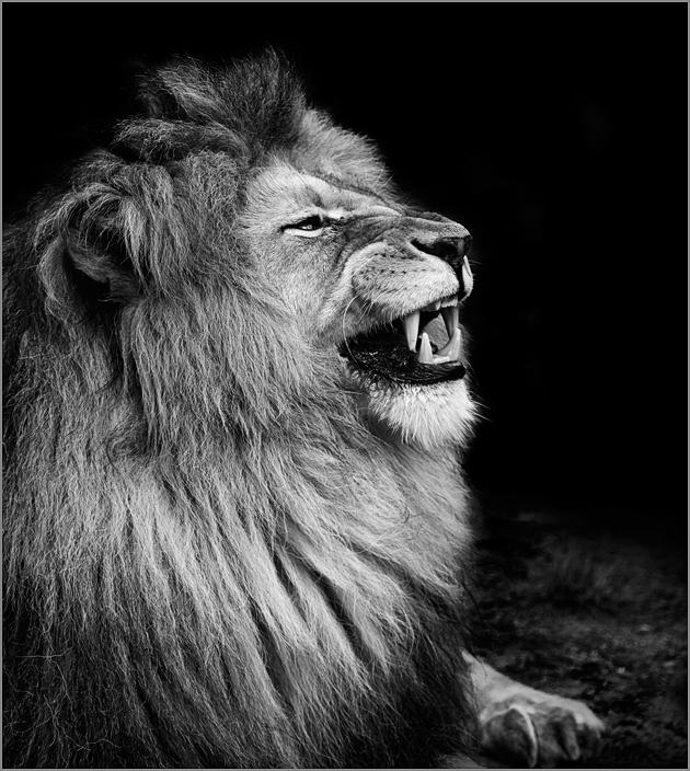 Der Löwe im Seitenprofil