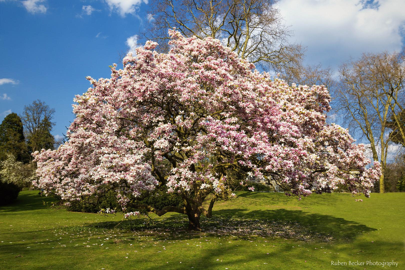 Geliebte Der Magnolienbaum Foto & Bild | pflanzen, pilze & flechten, bäume &HS_94