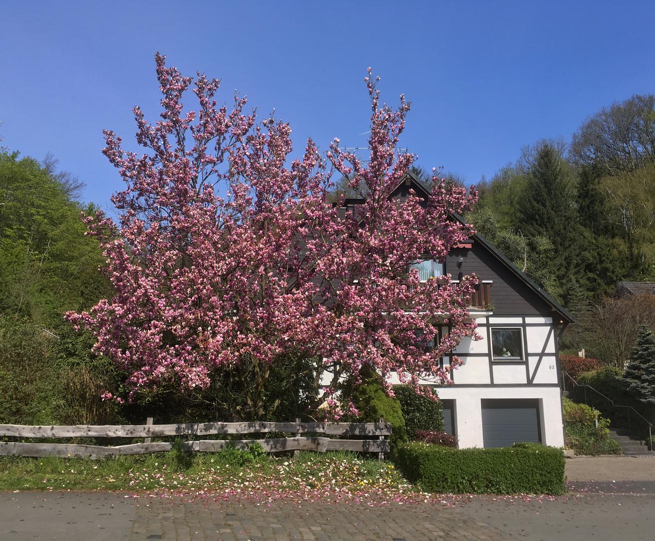 Der Magnolienbaum blüht noch