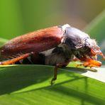 Der Mai ( Käfer ) ist da