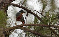der Mangroven-Reiher