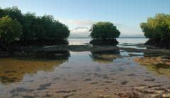 Der Mangrovenbaum...