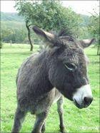 der mecker Esel