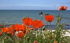 Der Mohn auf Hiddensee wächst am Strand