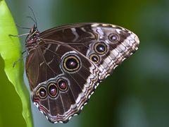 Der Monarch (Danaus plexippus)
