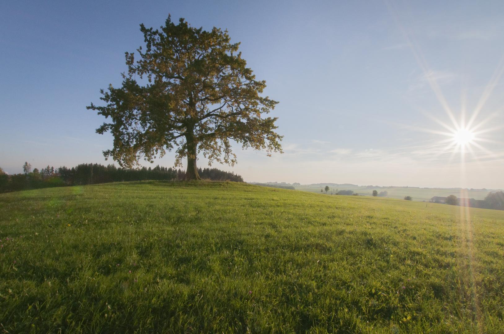 Der Münsinger Baum