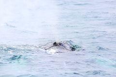 Der nächste Buckelwal ist in Sicht