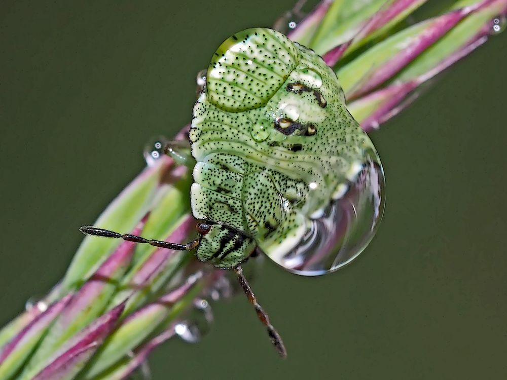 Der nasse Schlafplatz der Grünen Stinkwanze (Palomena prasina) - La punaise verte...