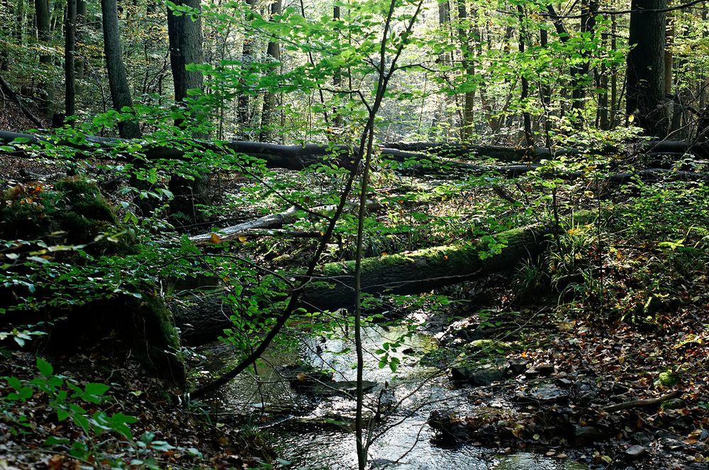der netzbach mäandert durch den saarbrücker urwald foto