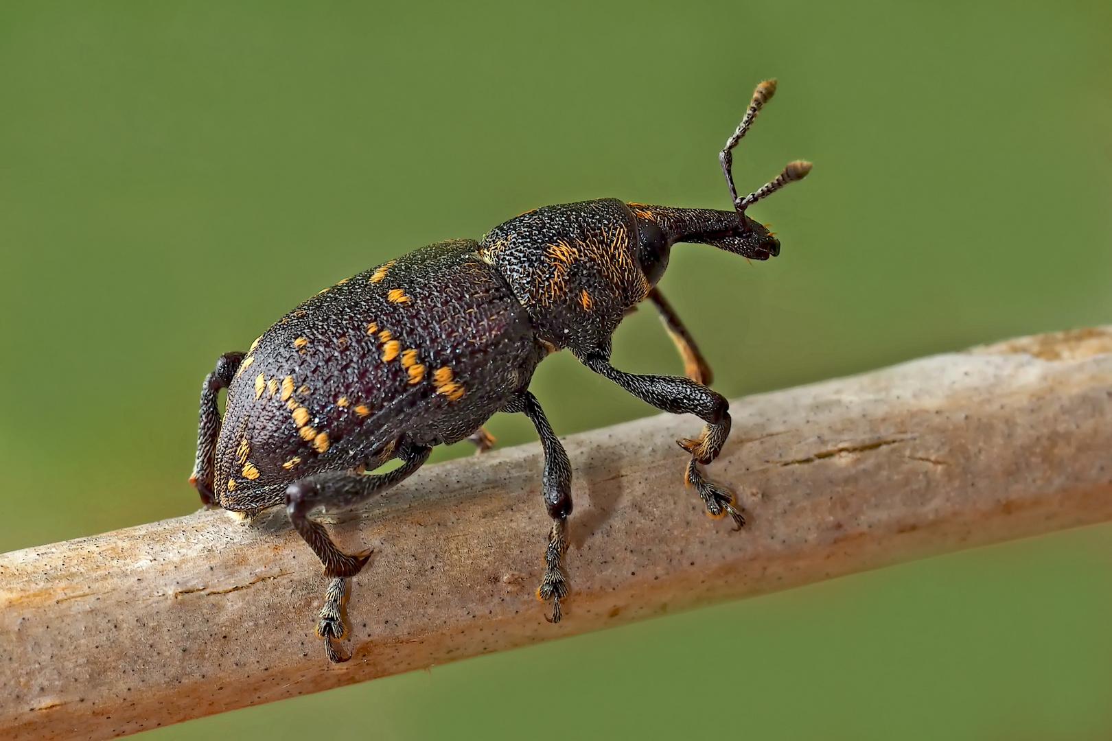 Der nicht nur schädliche Fichtenrüsselkäfer (Hylobius abietis). - Le grand charançon du pin.