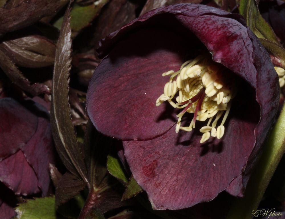 der Nieswurz (Helleborus purpurascens)
