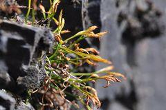 Der Nordische Streifenfarn(Asplenium septentrionale)
