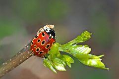 Der nützliche Augen-Marienkäfer (Anatis ocellata) - La Coccinelle à ocelles est très utile!