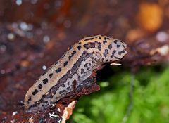 Der nützliche Tigerschnegel (Limax maximus) - La Limace léopard est très utile!