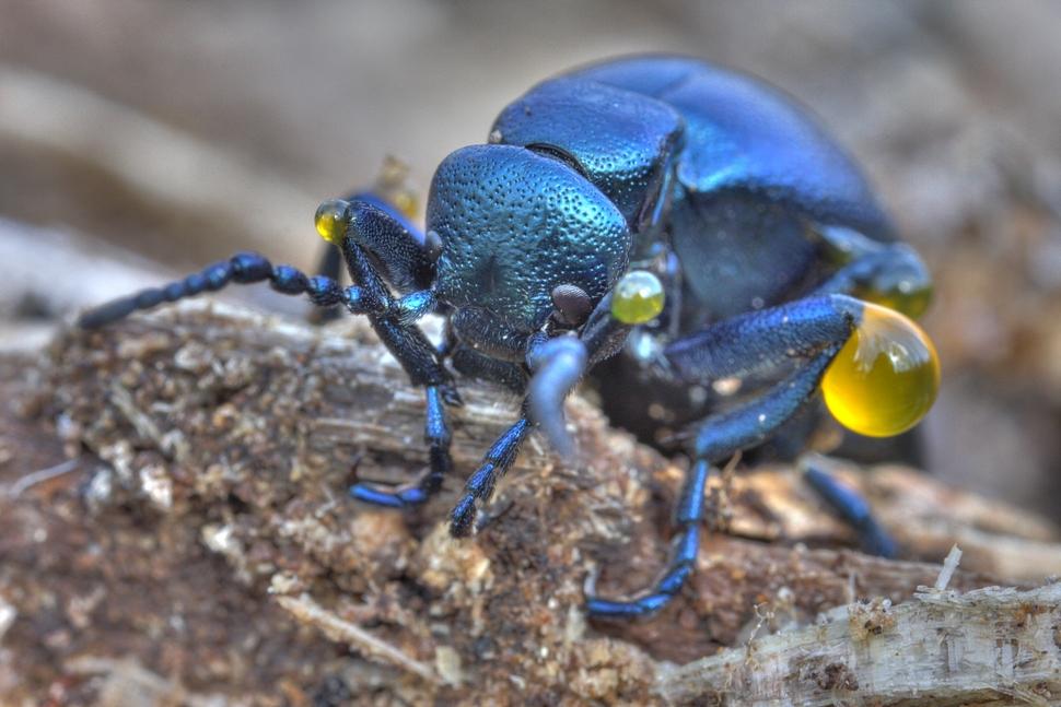 Giftige Käfer Deutschland