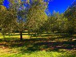 Der Olivenbaumgarten